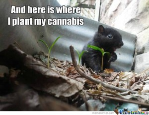 mouse-plants-cannabis_c_1428407